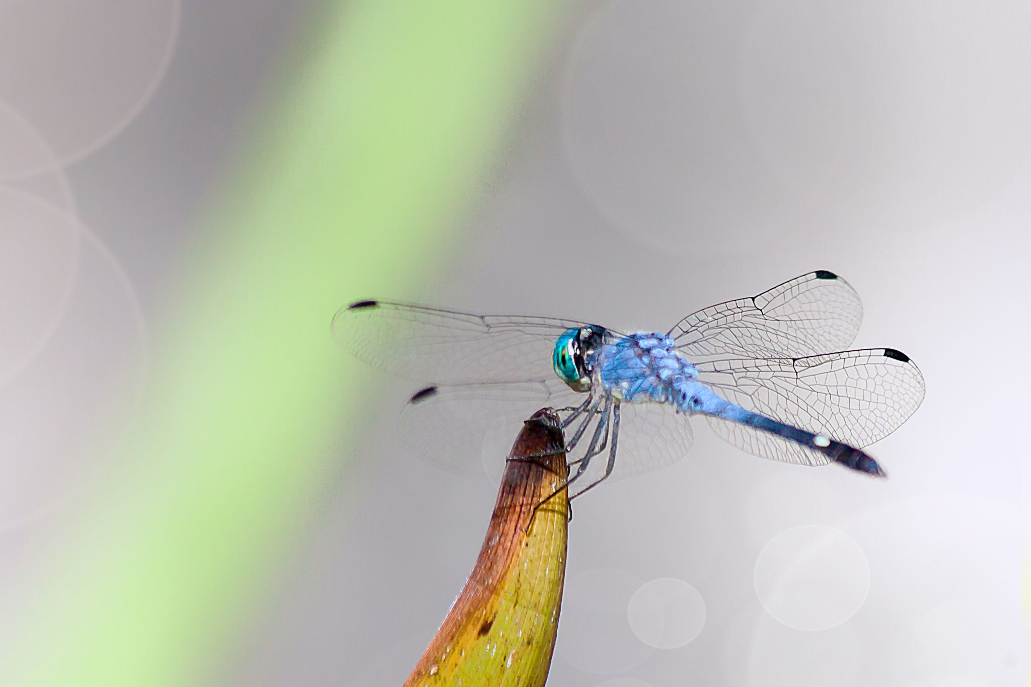 Blue Dragonfly by Tony Guzman