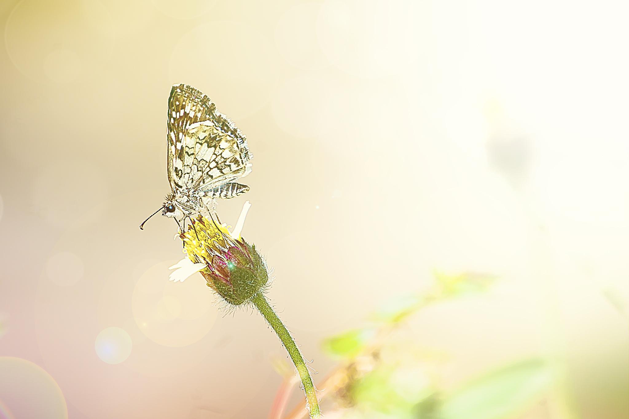 Butterfly on a Tridax 03 by Tony Guzman