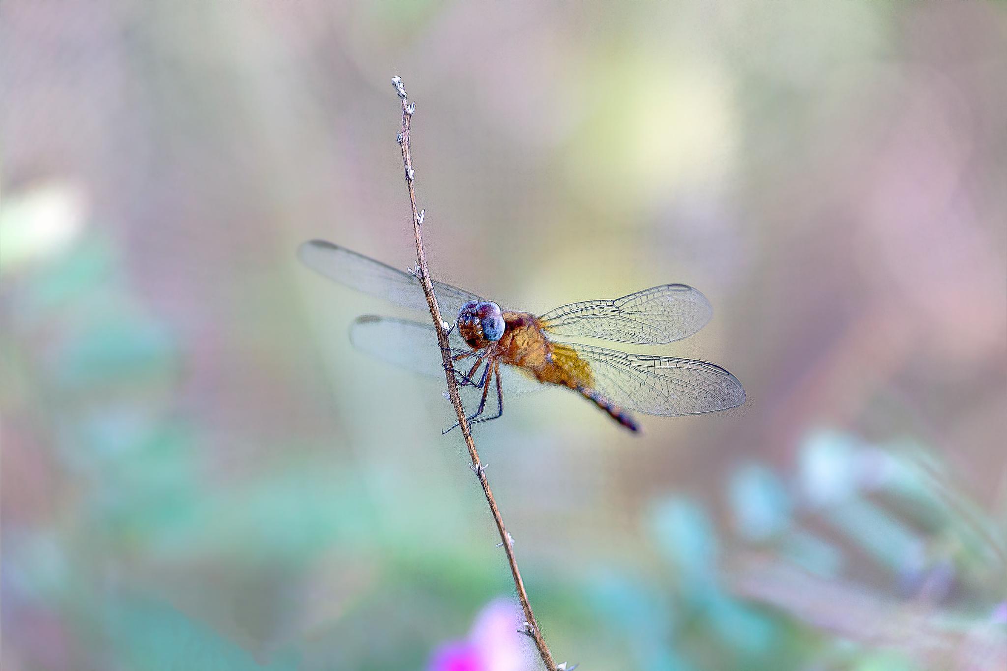 Orange dragonfly by Tony Guzman