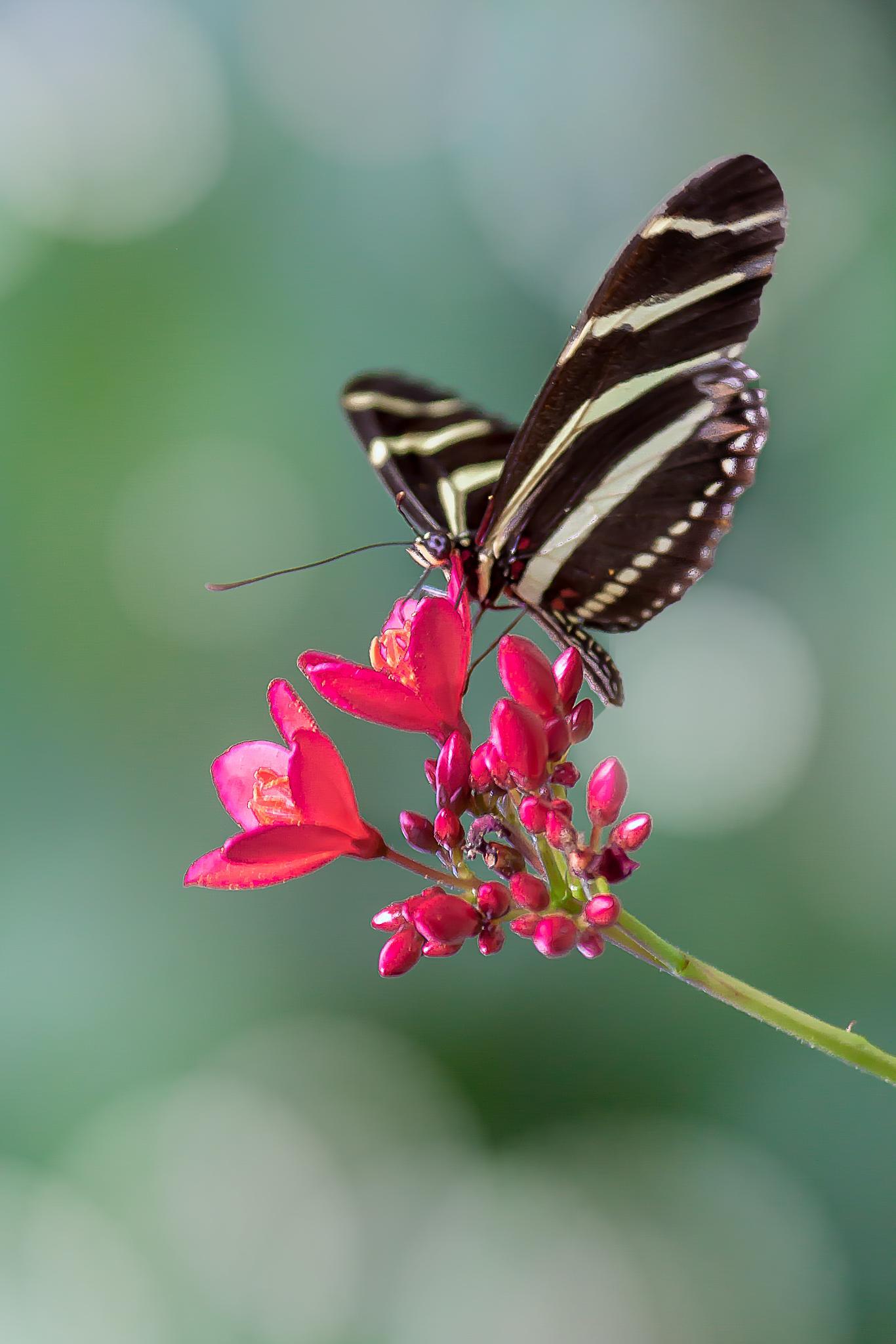 Butterfly 32 - Zebra by Tony Guzman