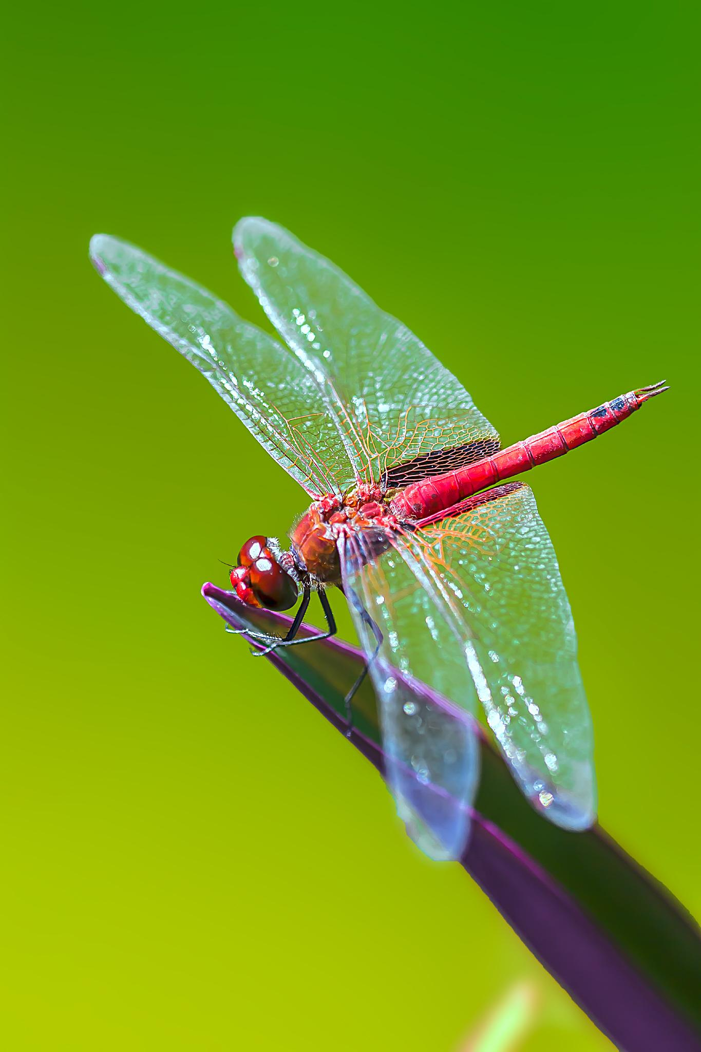 Photo in Macro #red #dragonfly #insect #macro