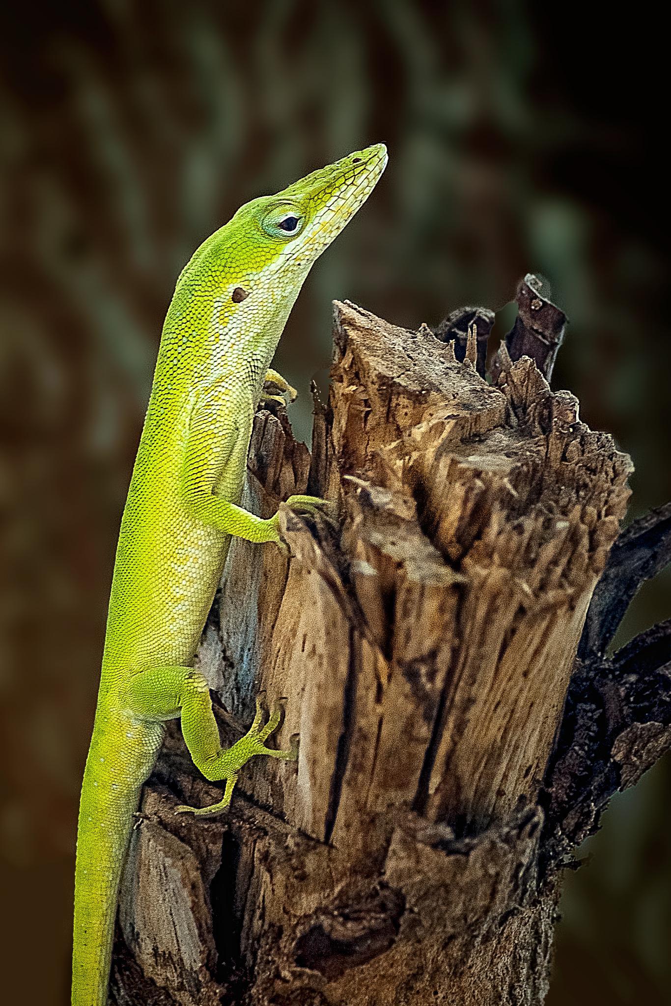 Photo in Macro #anolis #carolinensis #green #lizard #reptile #animal #macro