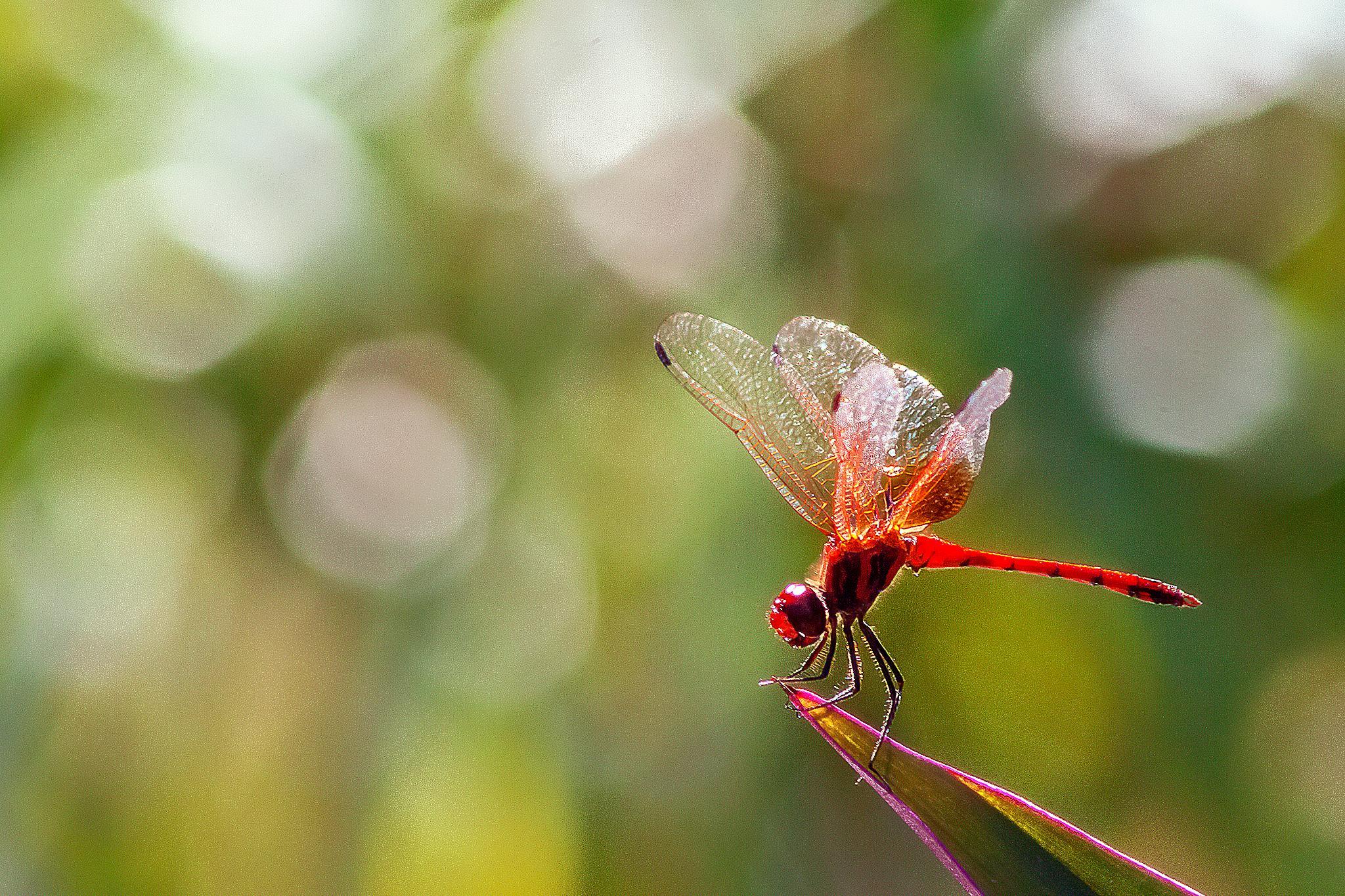 Red dragonfly 14 by Tony Guzman