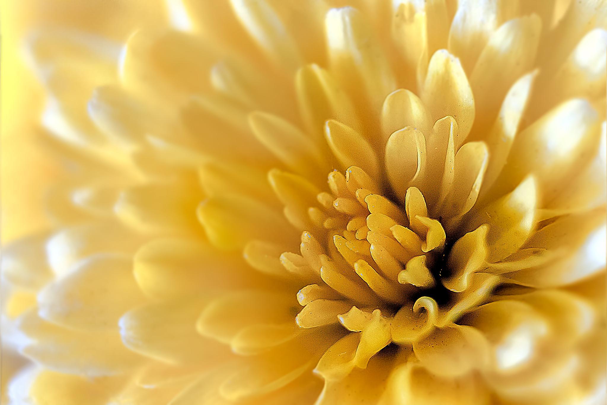 Chrysanthemum 3 by Tony Guzman