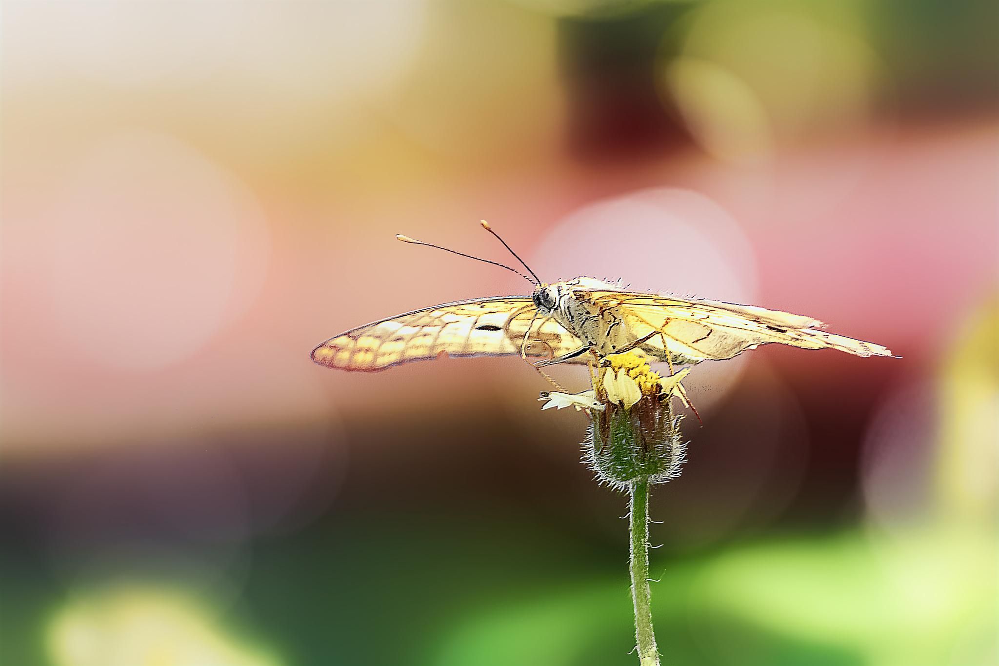 Butterfly - 79 - White Peacock - Anartia jatrophae by Tony Guzman