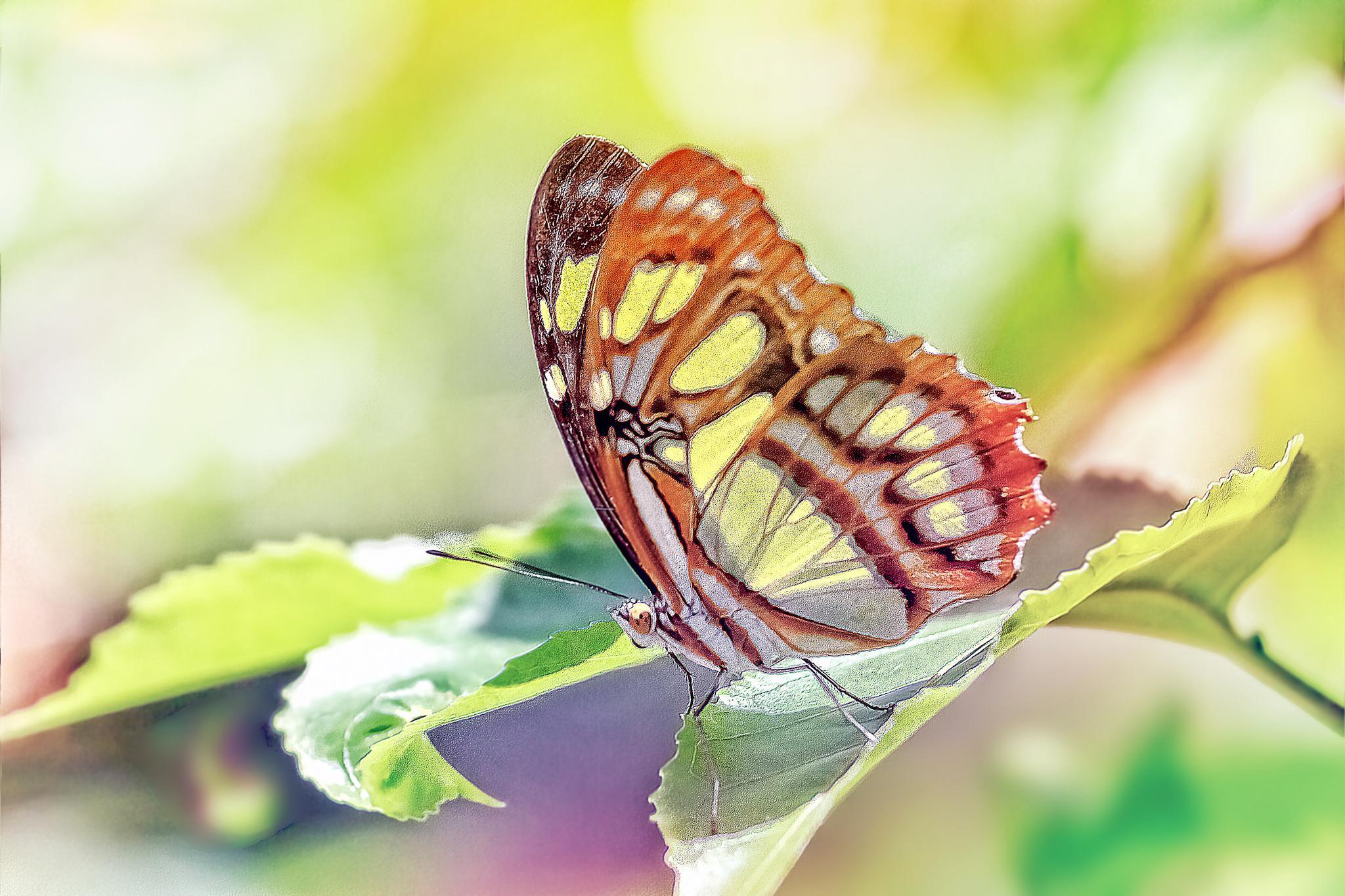 Butterfly 86 - Siproeta stelenes  by Tony Guzman
