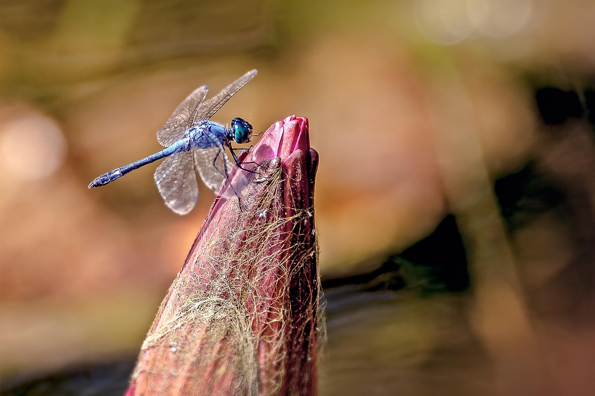 Blue dragonfly 13 by Tony Guzman