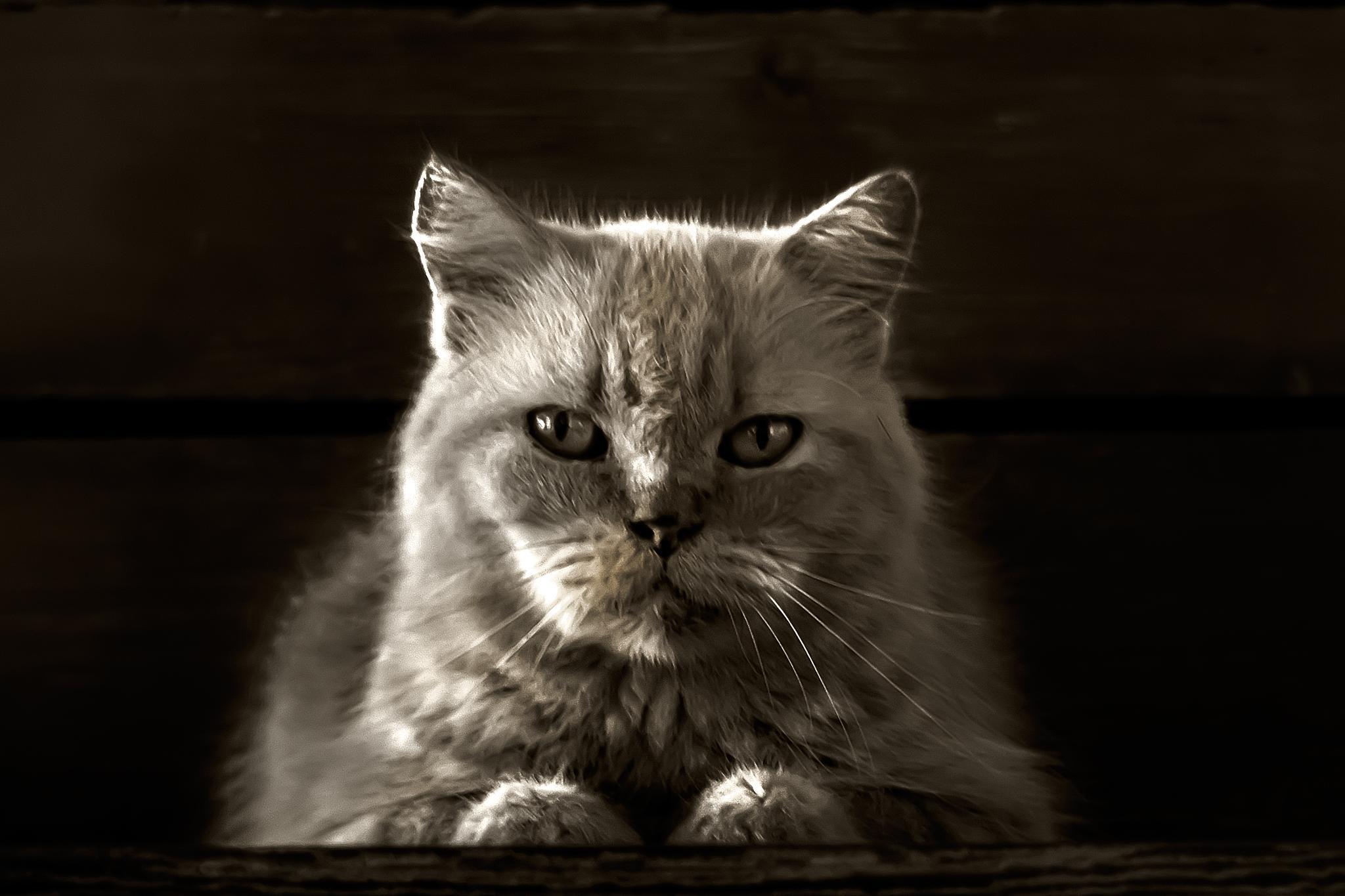 Photo in Animal #bully #cat #animal #mammal #b&w #toned