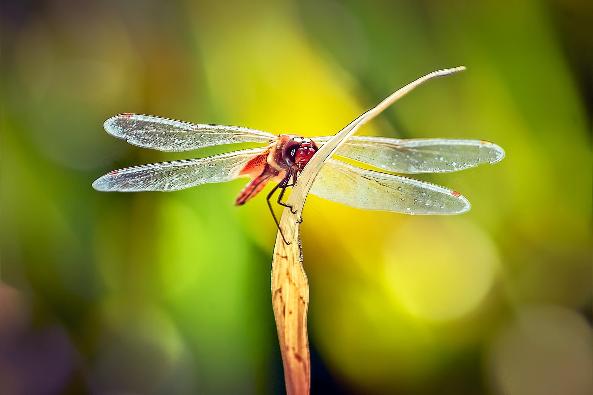 Red Dragonfly 44 by Tony Guzman
