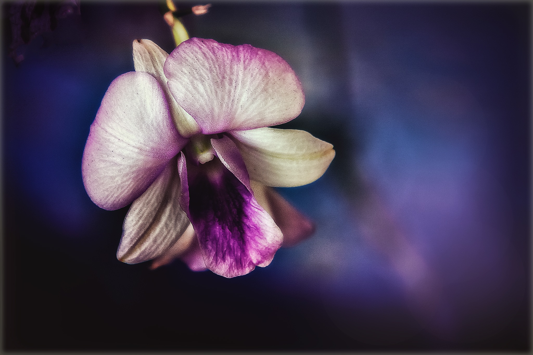 Nature 107-001 - Purple touch Orchid by Tony Guzman