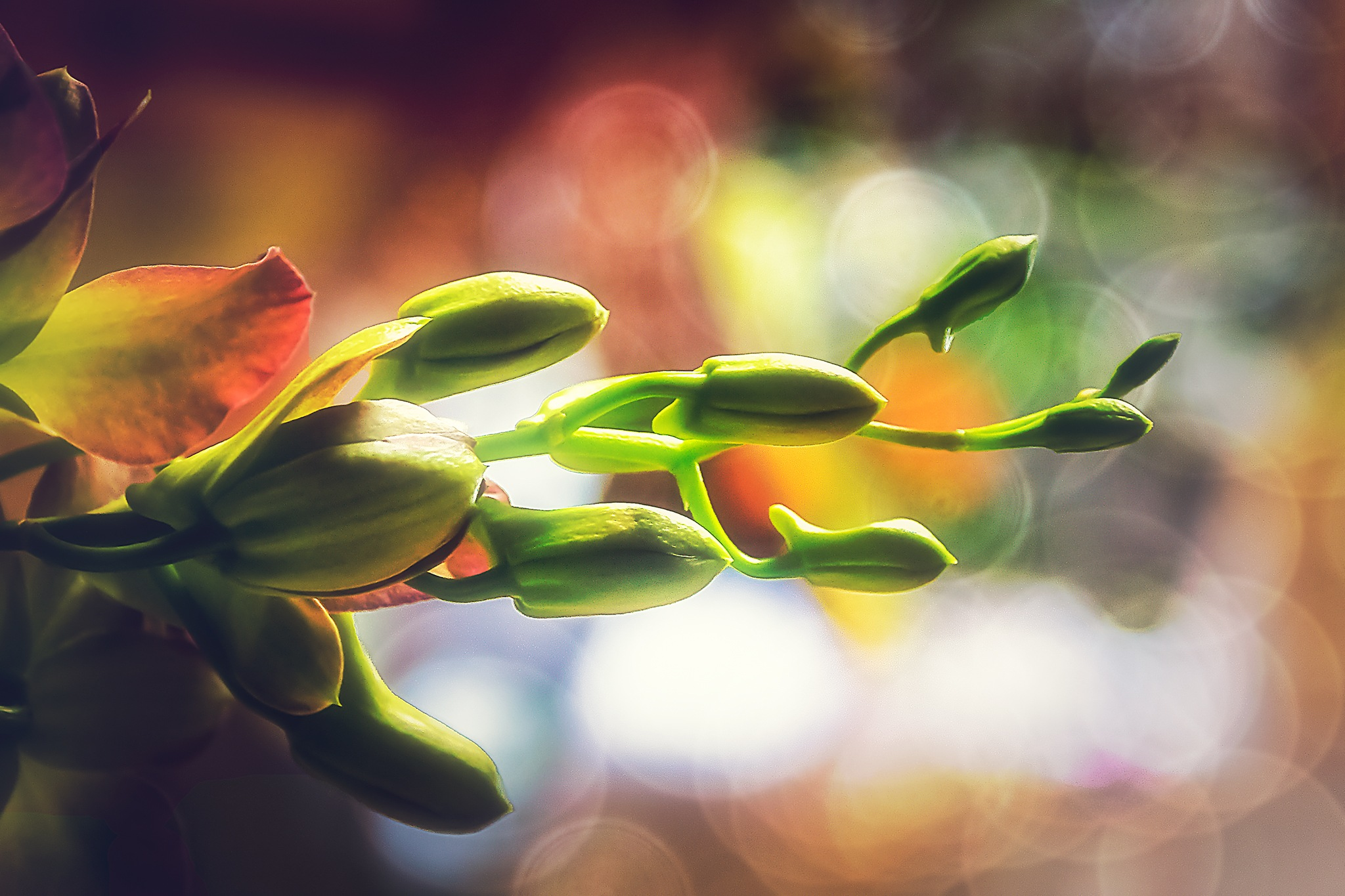 Nature 124-001 - Orchid's buds by Tony Guzman