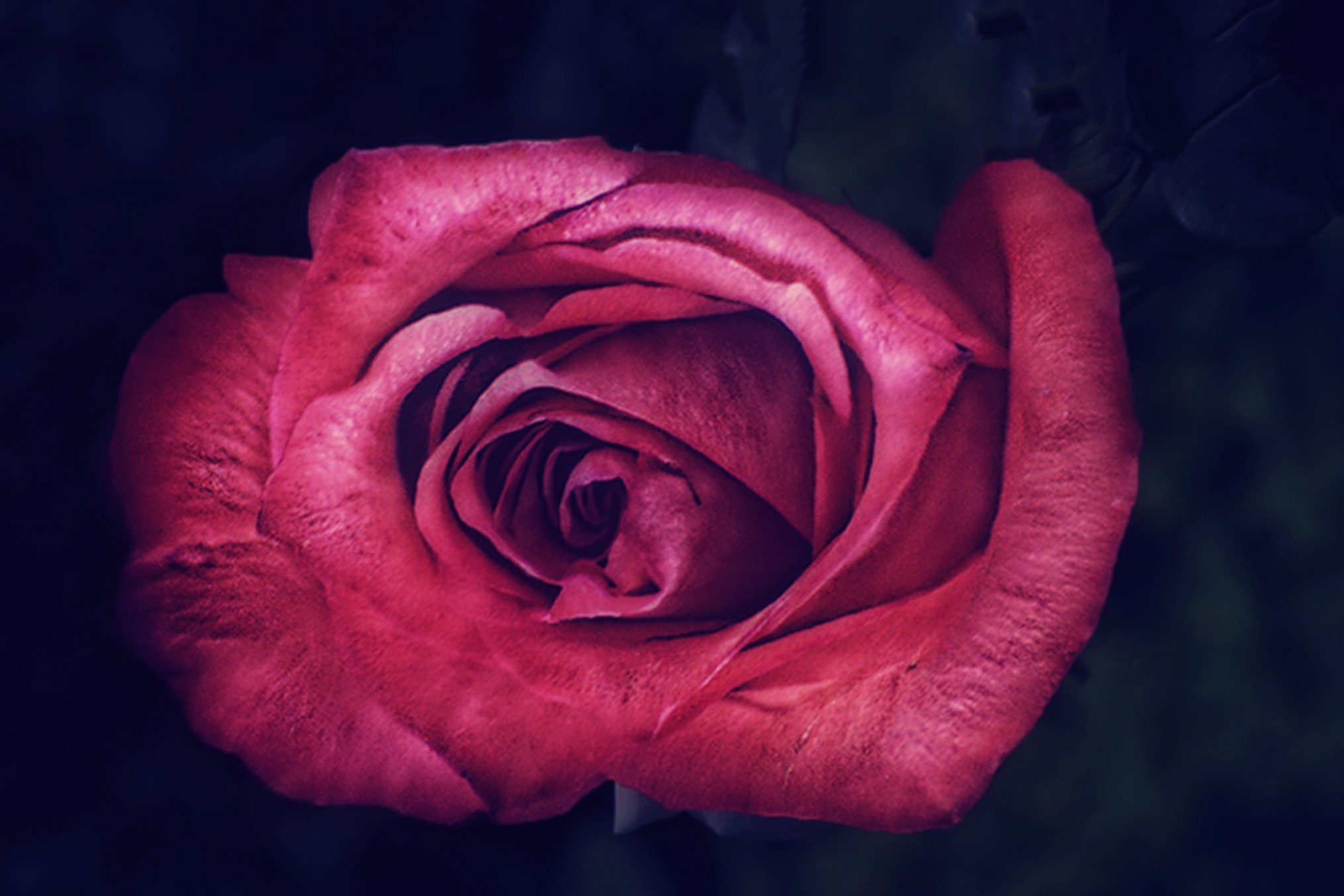 Nature 170-001 - Just a Rose by Tony Guzman