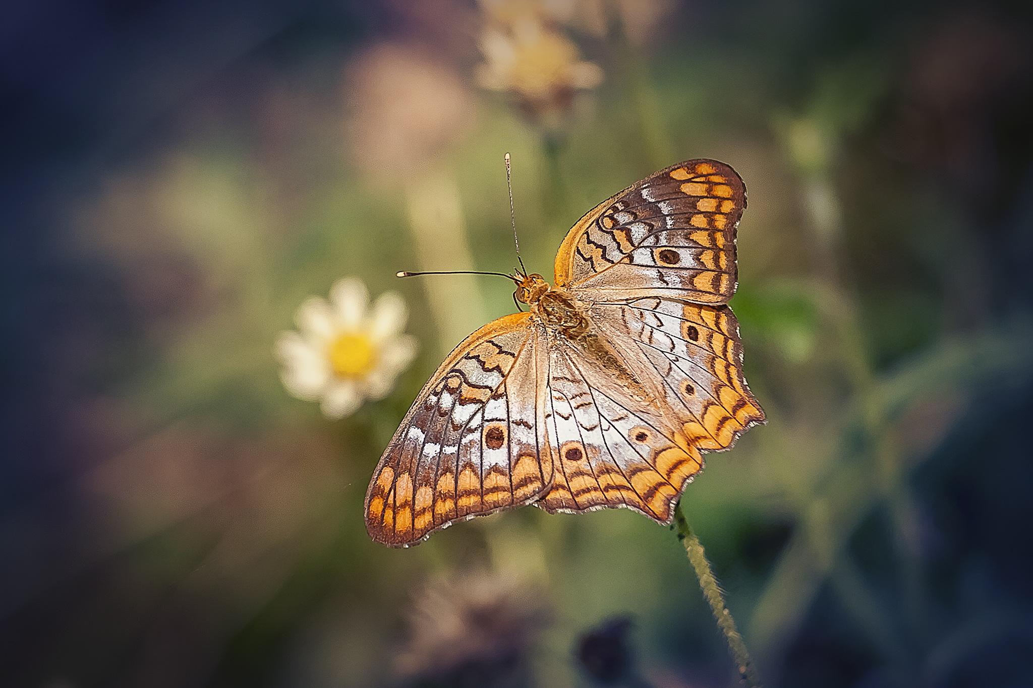 Butterfly 205-001 - Anartia jatrophae  by Tony Guzman