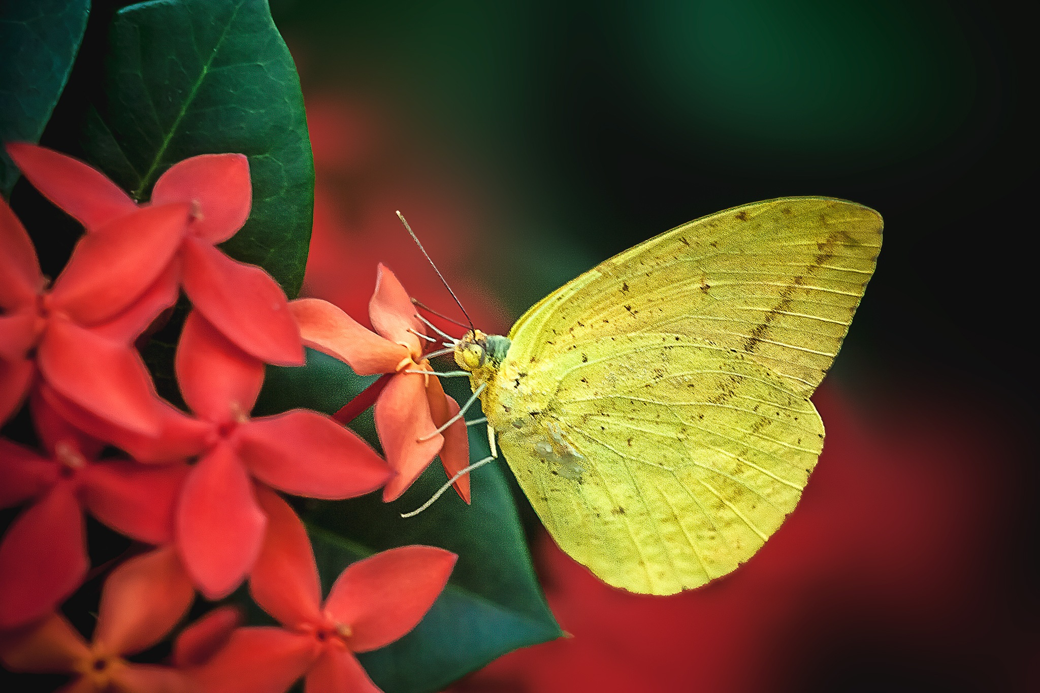 Butterfly 202-001 - Pyrisitia leuce mimulus by Tony Guzman