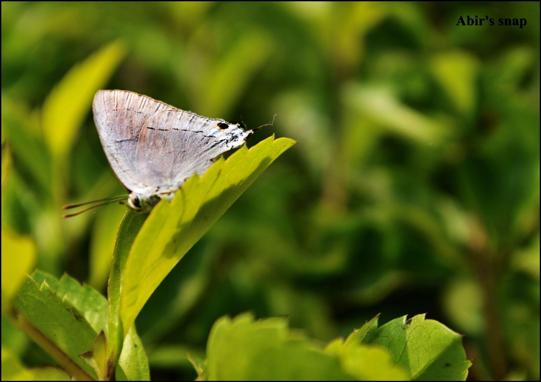 butterfly.. by Abir Ghosh