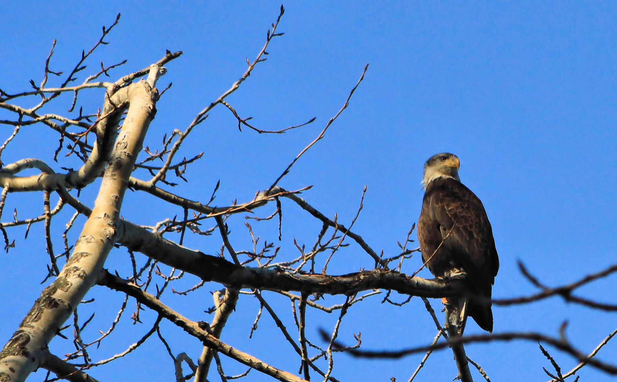 A young bald eagle by linda.scates1