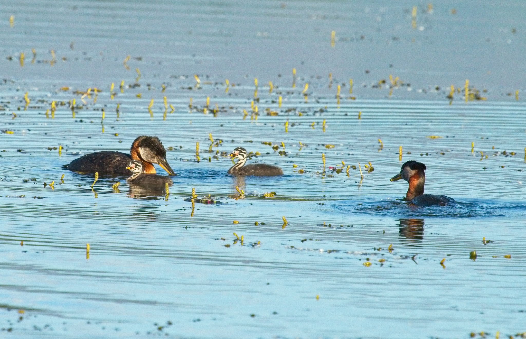 A grebe family by linda.scates1