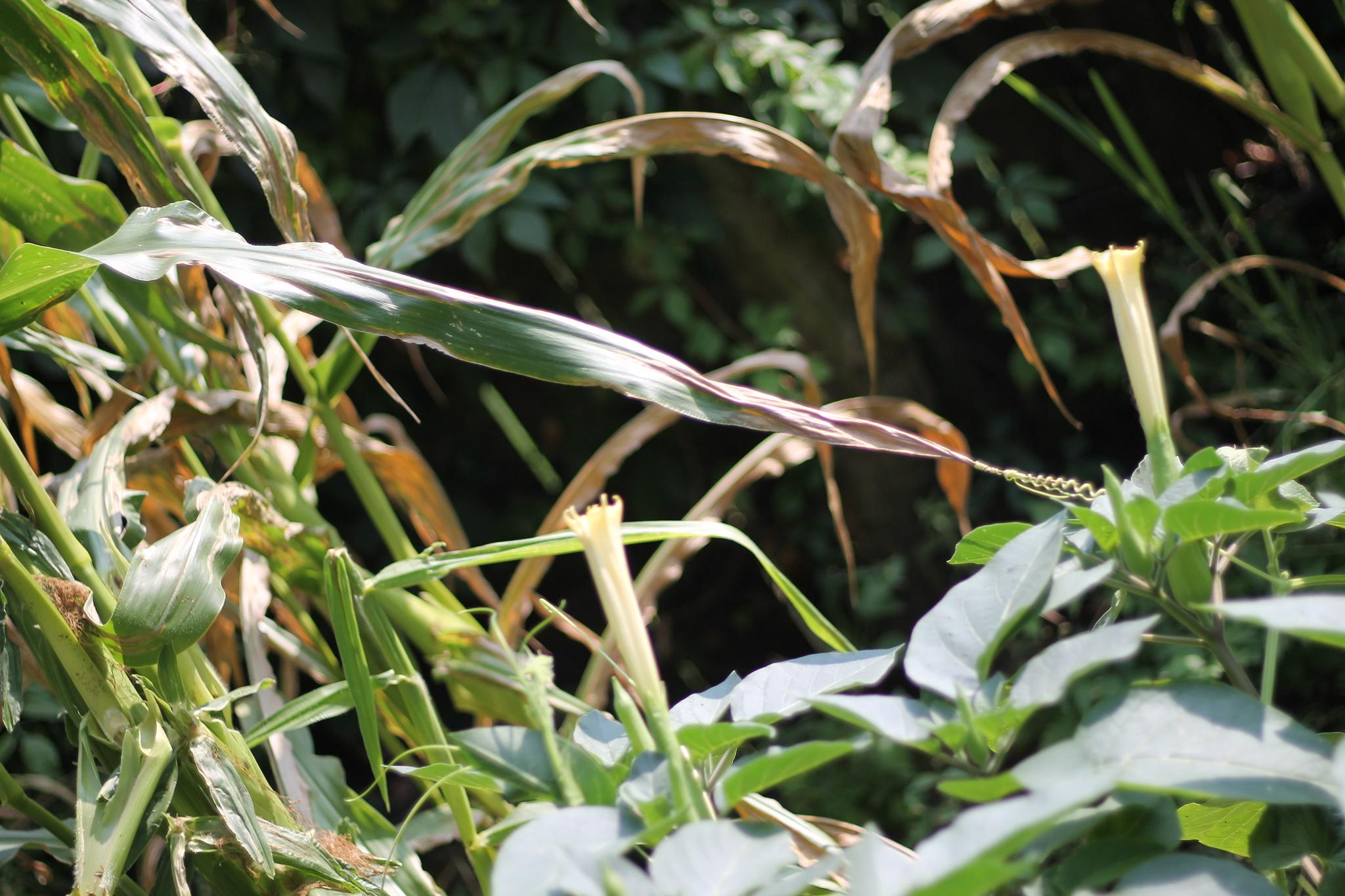 gourd vine shaking hands with corn stalk by Jim