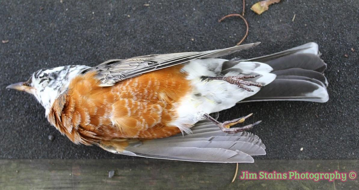 white headed robin by Jim