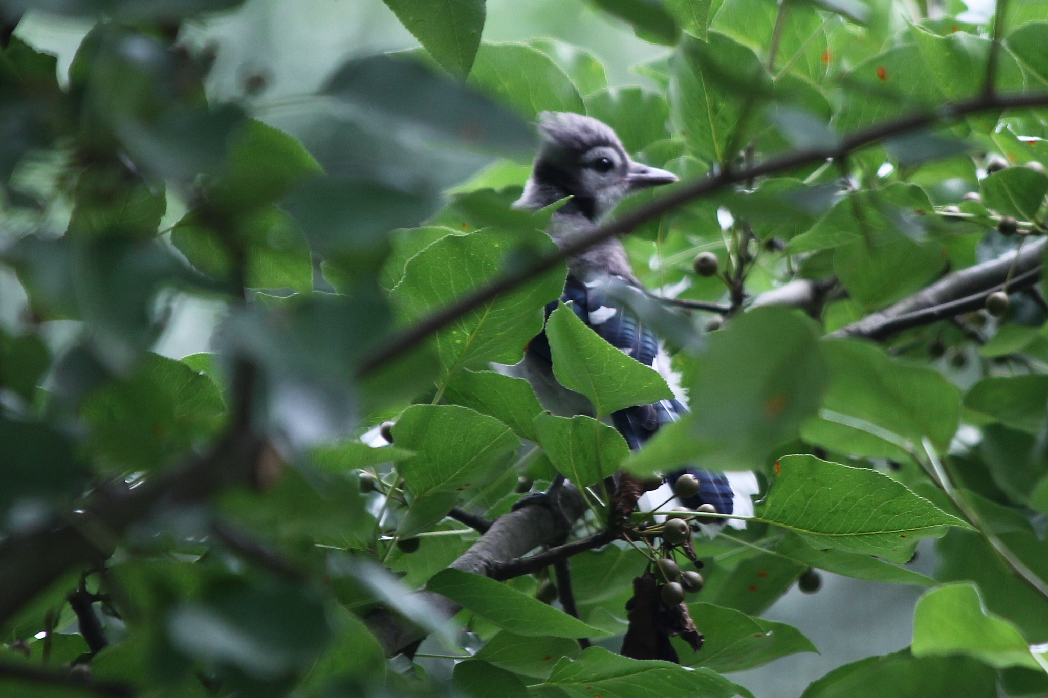 bluejay in the trees by Jim