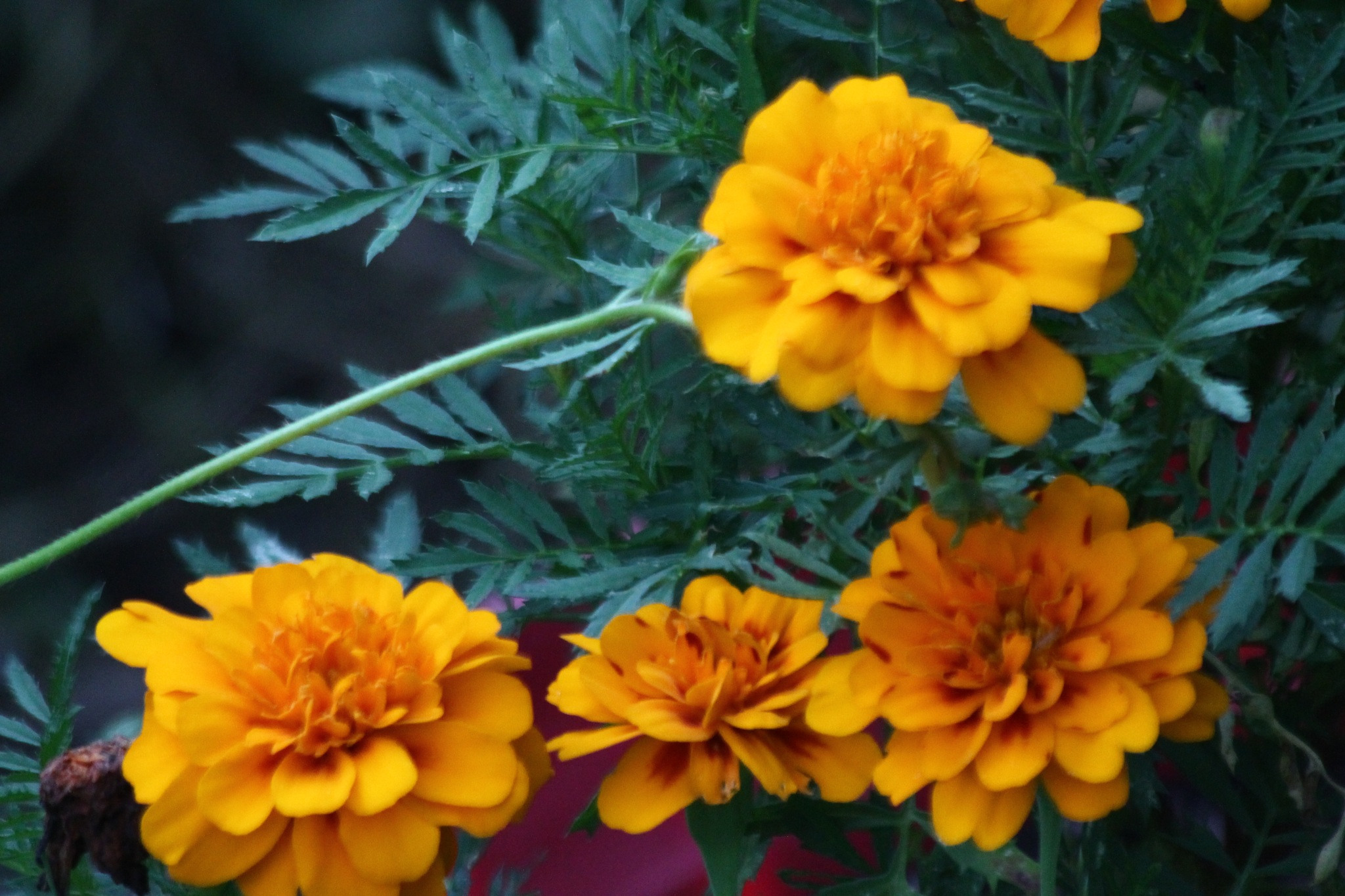 marigold by Jim