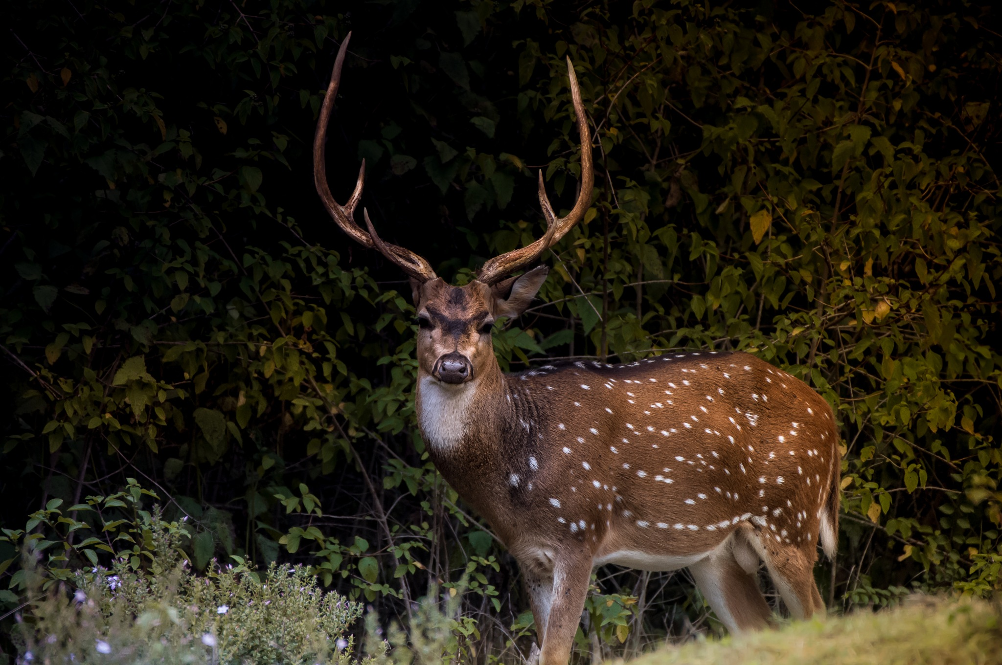 Male Spotted Deer by Jubin Sobhan Das