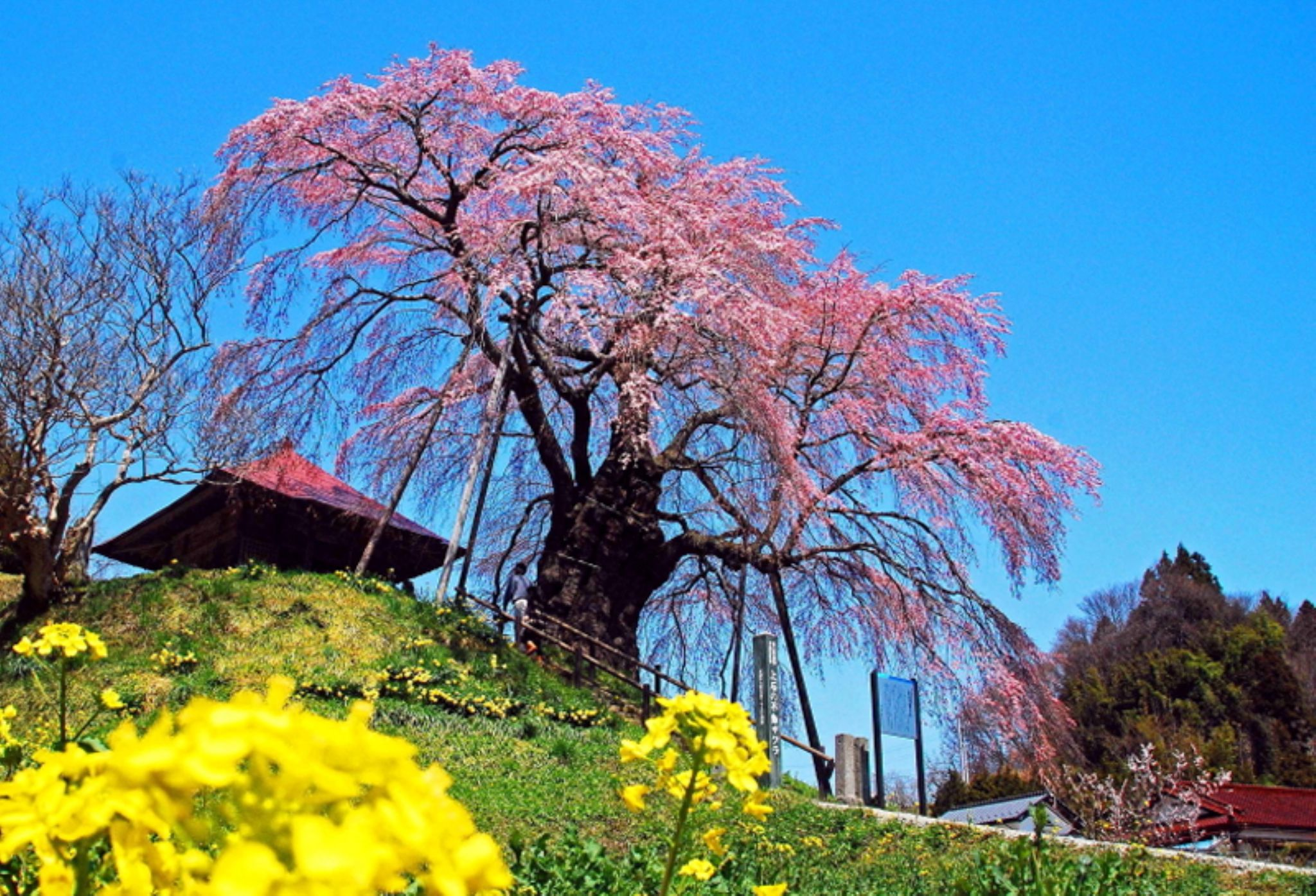 Cherry blossoms in full bloom by photoeene