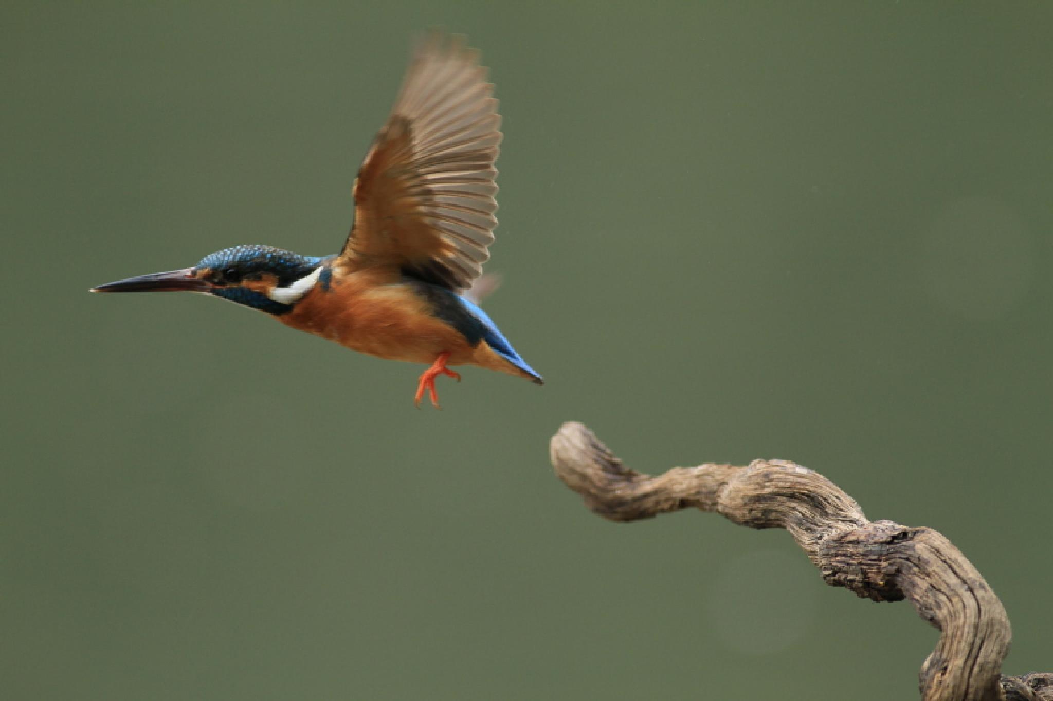 Kingfisher by photoeene