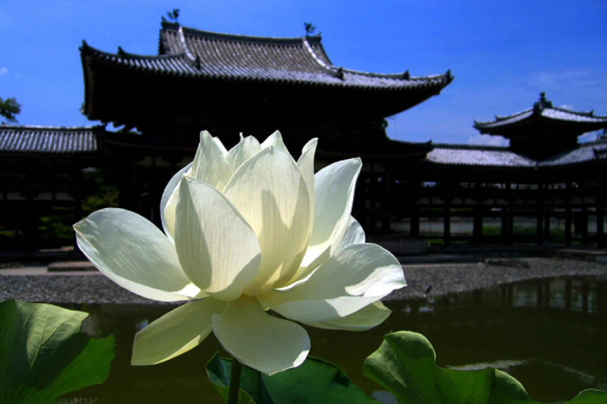 The lotus, Kyoto by photoeene