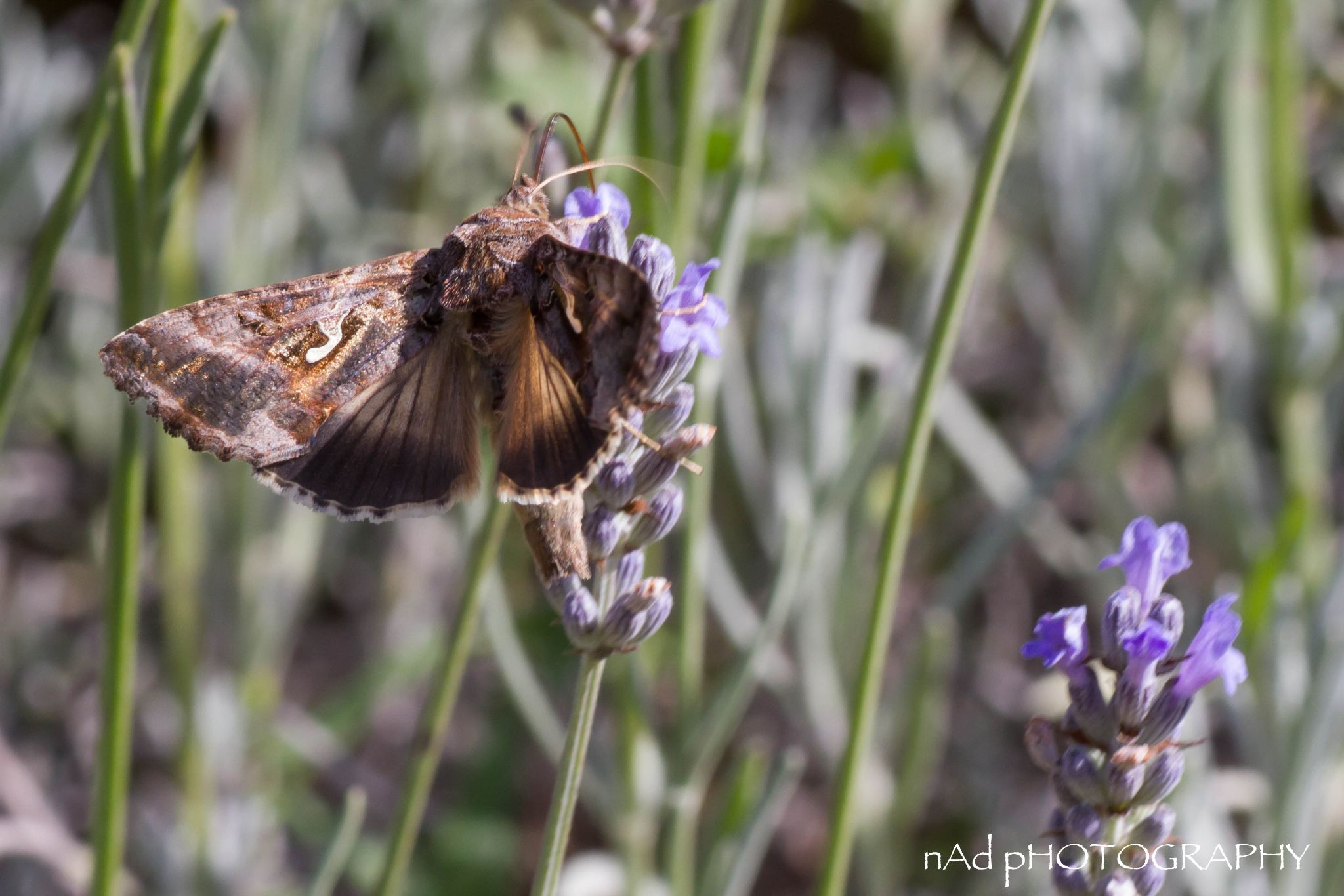 Brown Moth by NDODS
