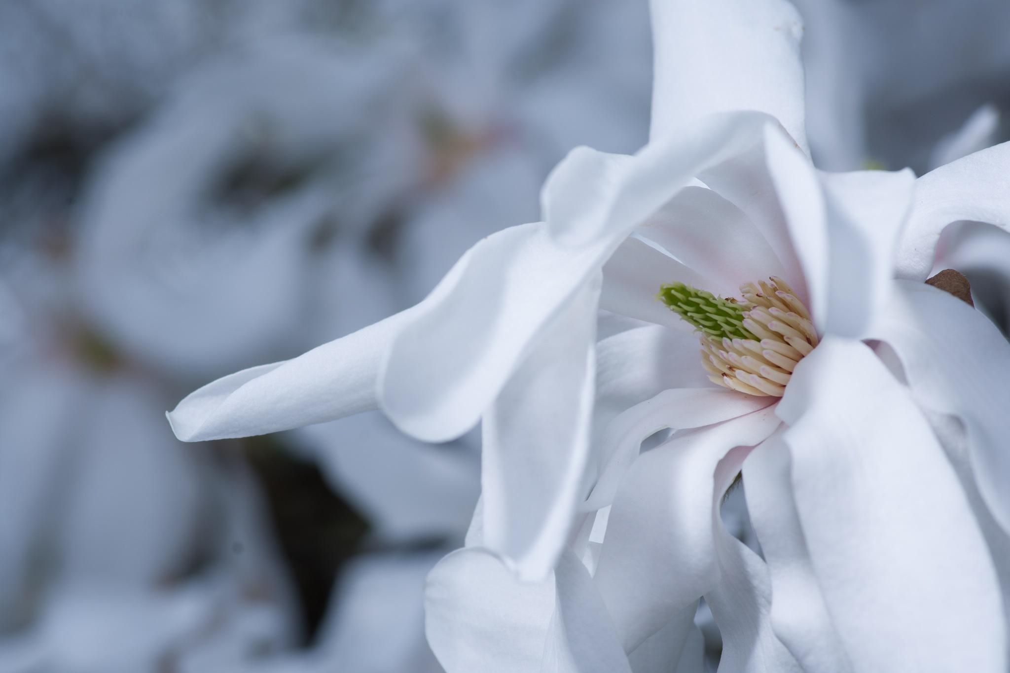 White magnolia flower by Sabiritip