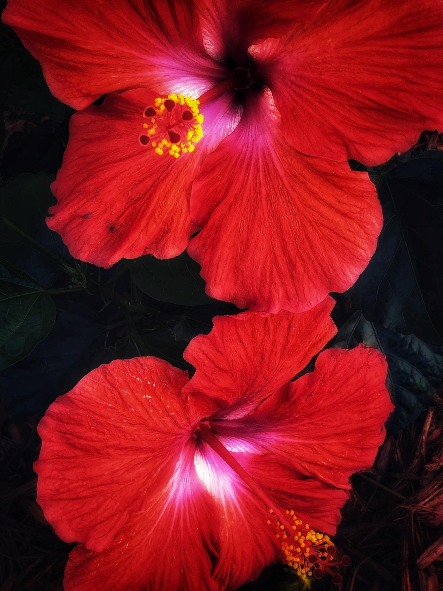 red hibiscus flowers  by Padmanabha Joshi(PJ)