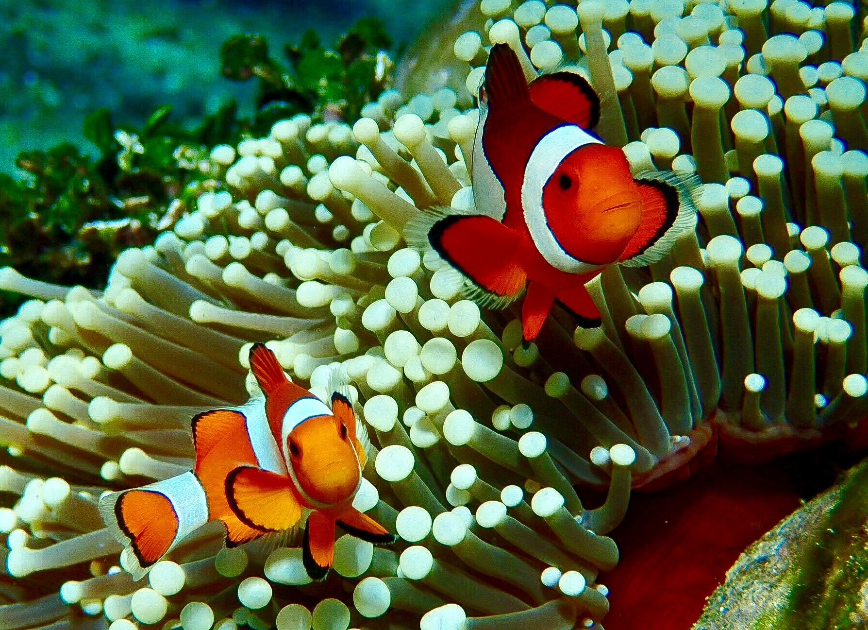 Nemos off the coast of Bali, Indonesia by Mick Wells