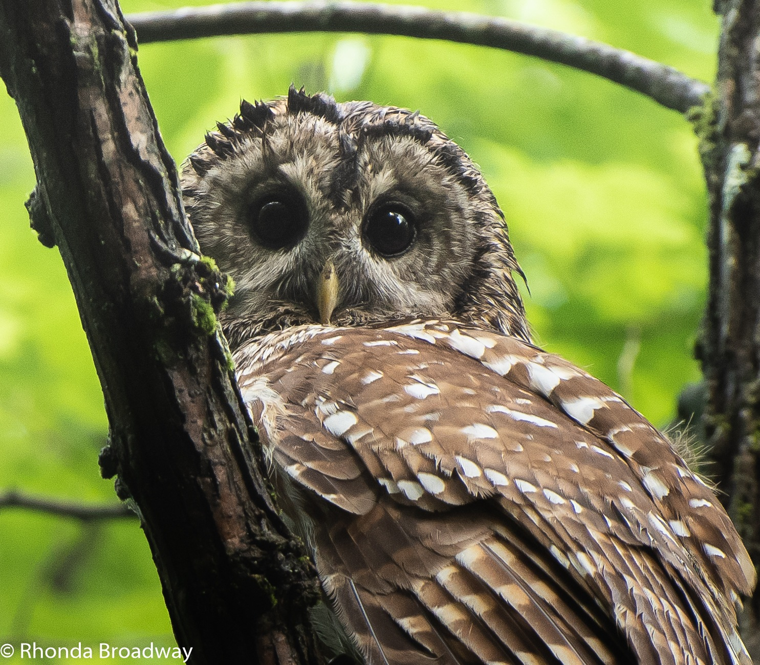 Barred owl by r c broadway