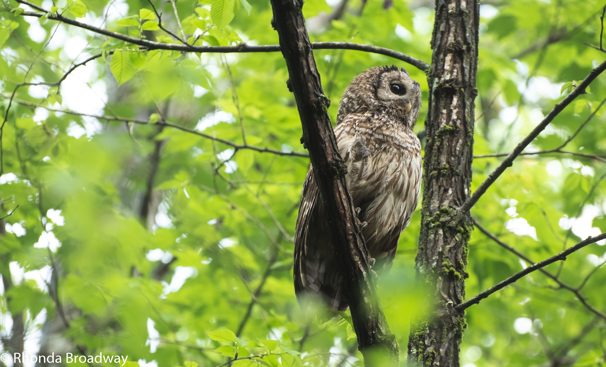morning  barred owl by r c broadway