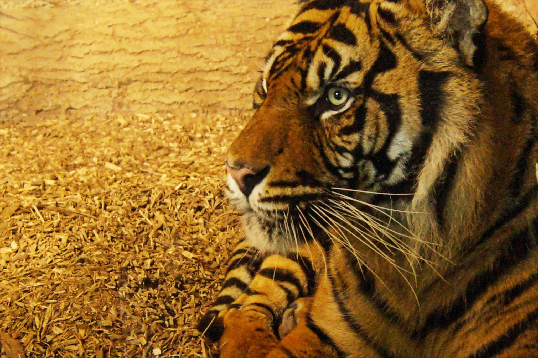 Tiger by Syeda Rosina Begum