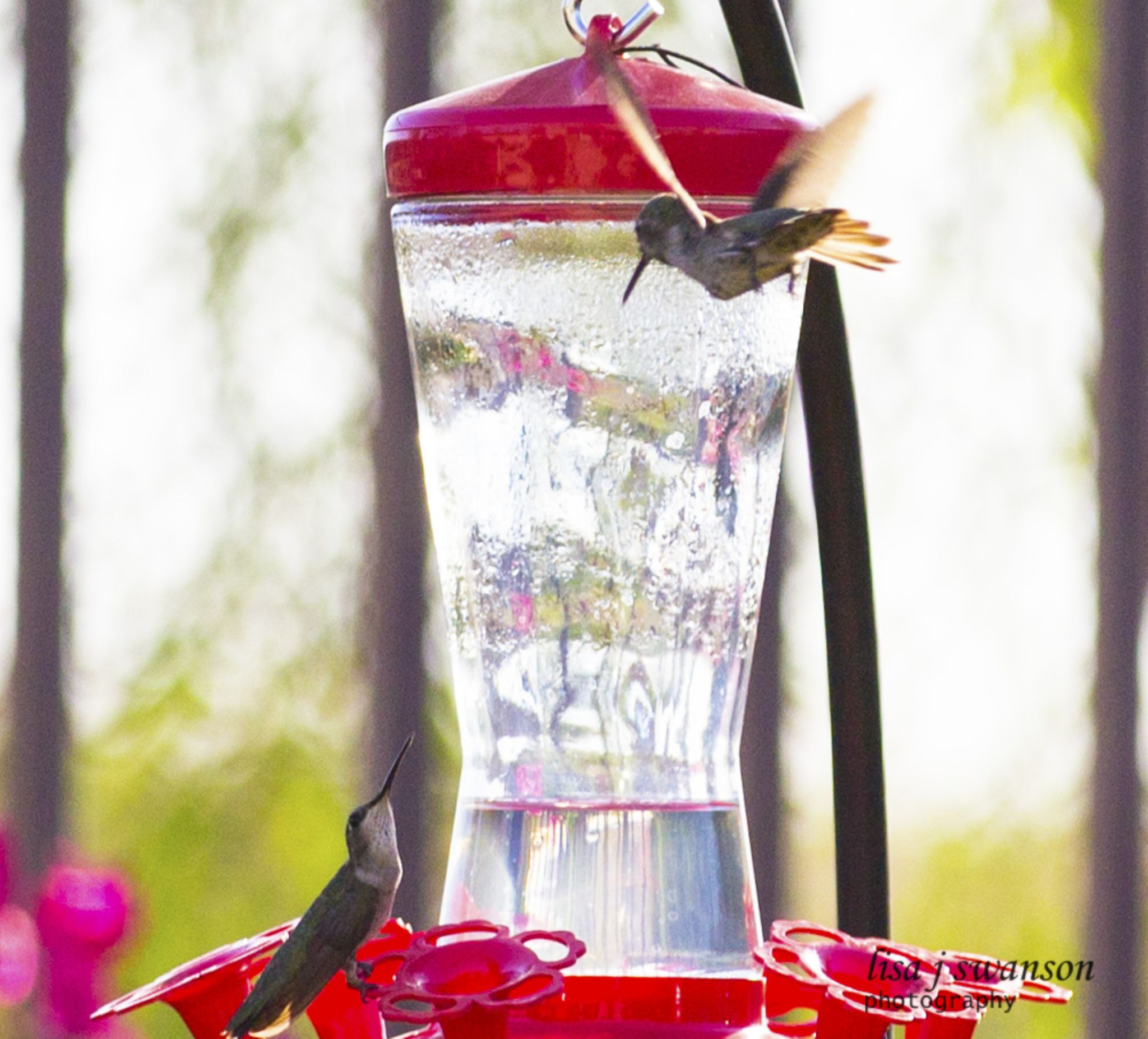 Hummingbirds by lisa.meyersswanson