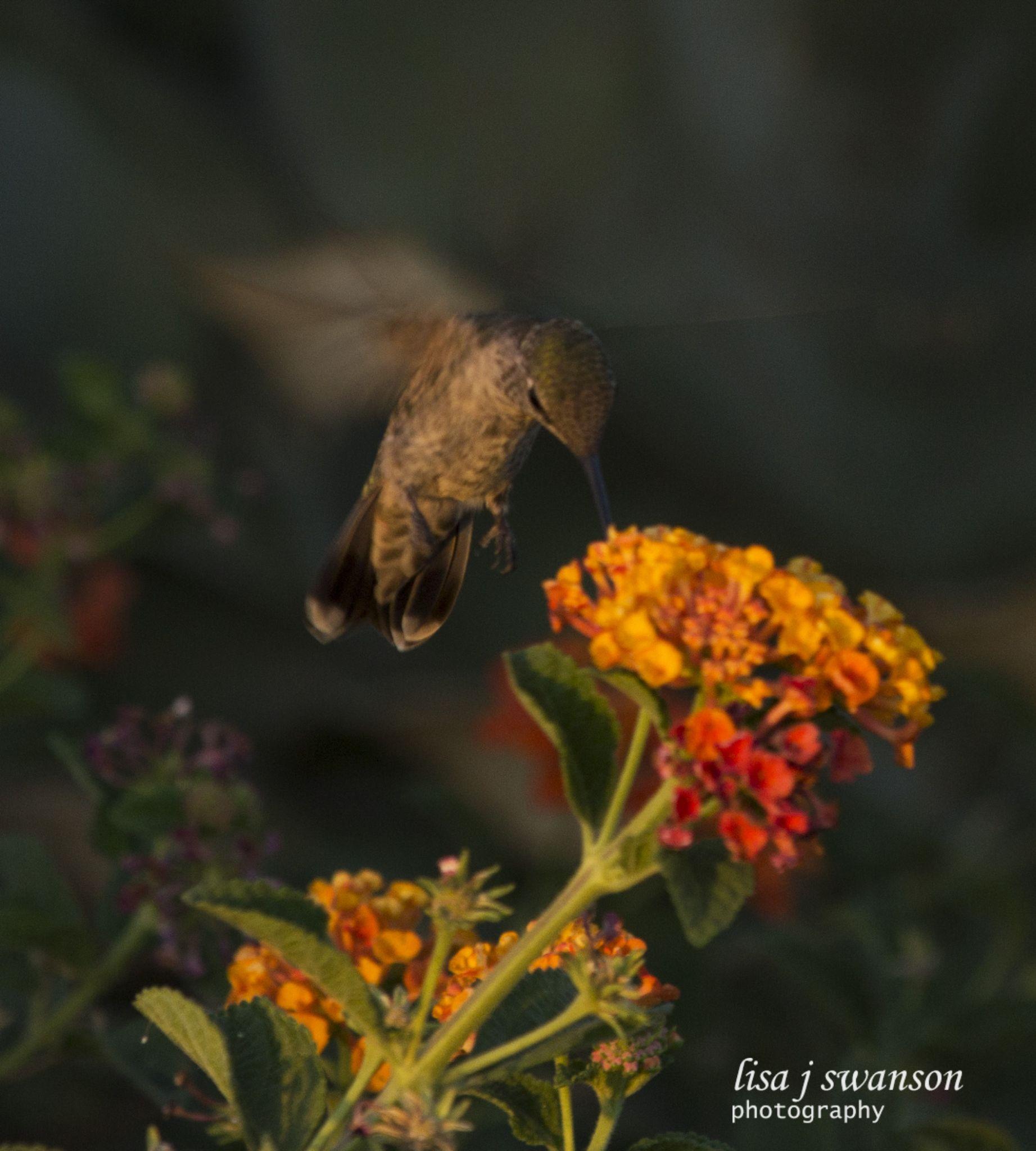 Hummingbird in lantana by lisa.meyersswanson