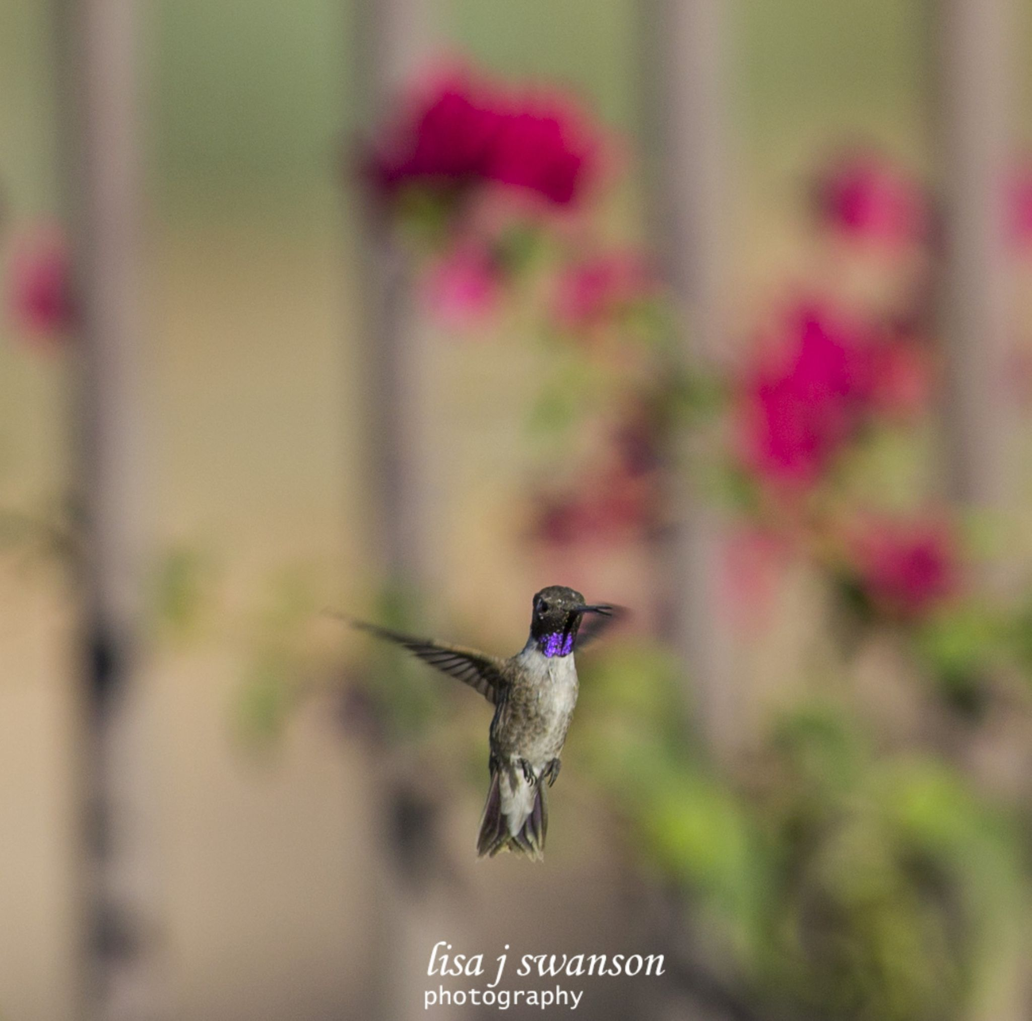 Black chinned hummingbird by lisa.meyersswanson