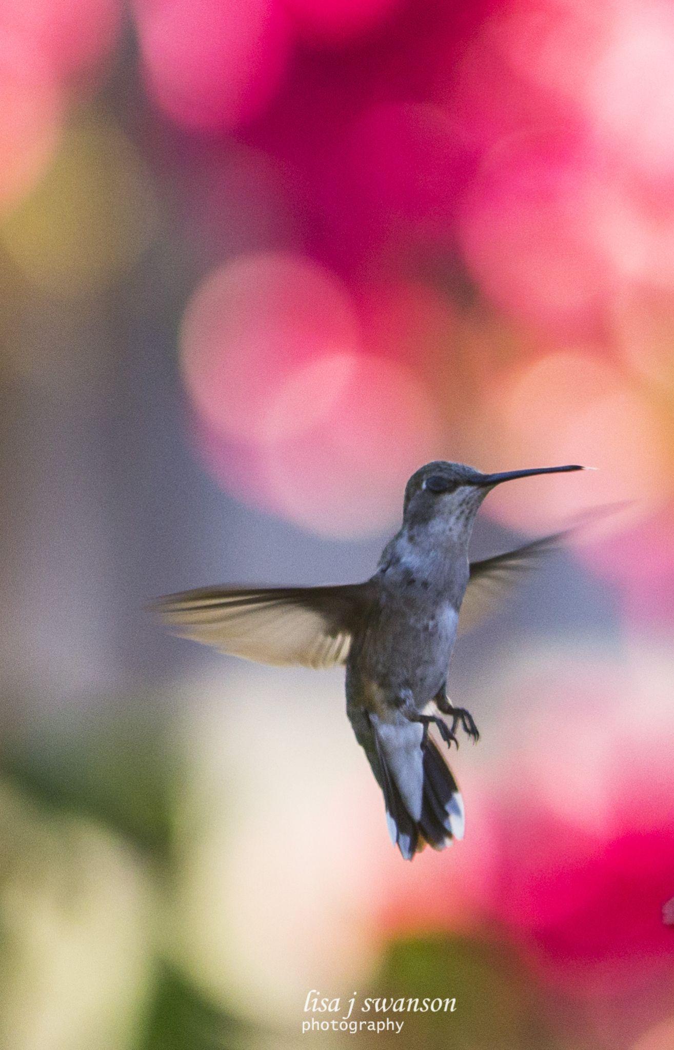 Hummingbird by lisa.meyersswanson