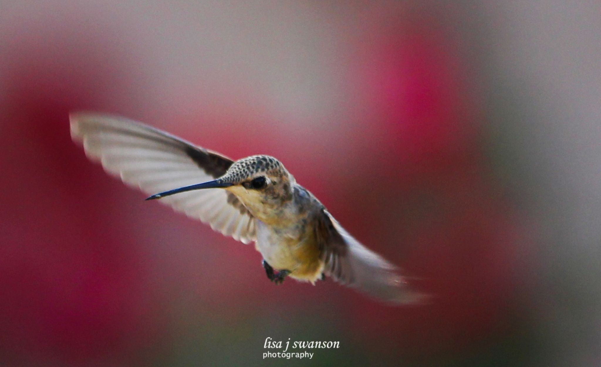 Hummingbird by lisa.meyersswanson