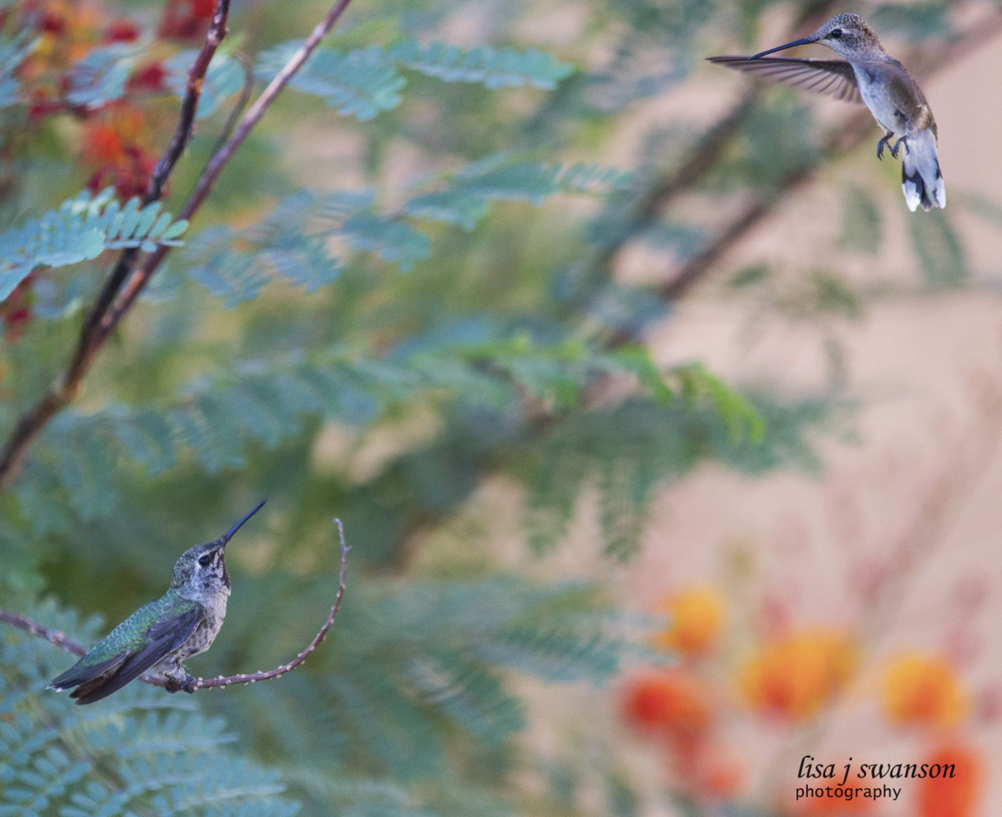 Hummingbirds by lisa.meyersswanson