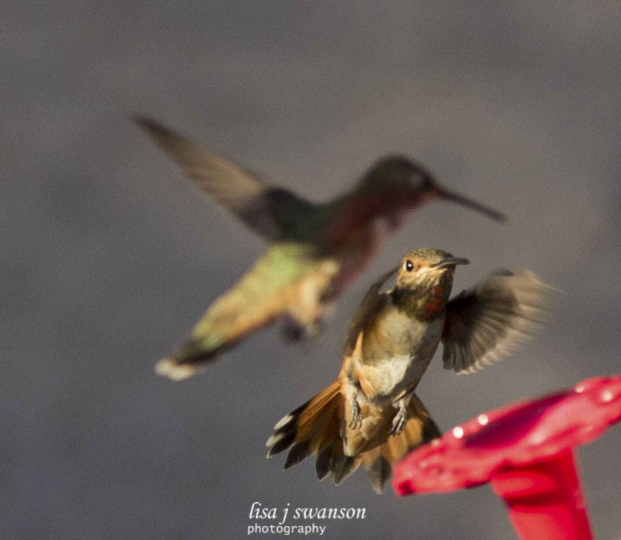 Fight for the feeder by lisa.meyersswanson