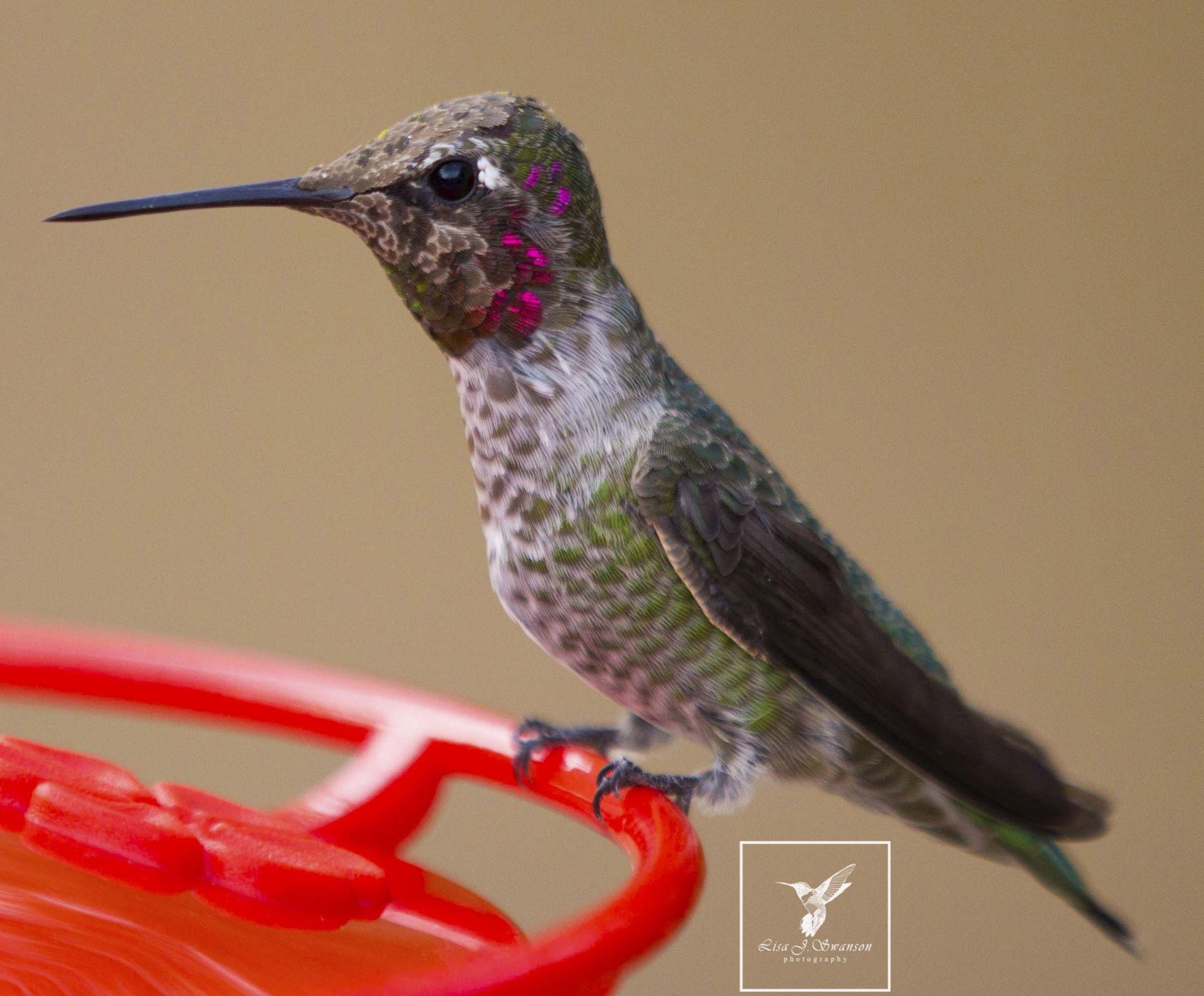 Anna's hummingbird by lisa.meyersswanson