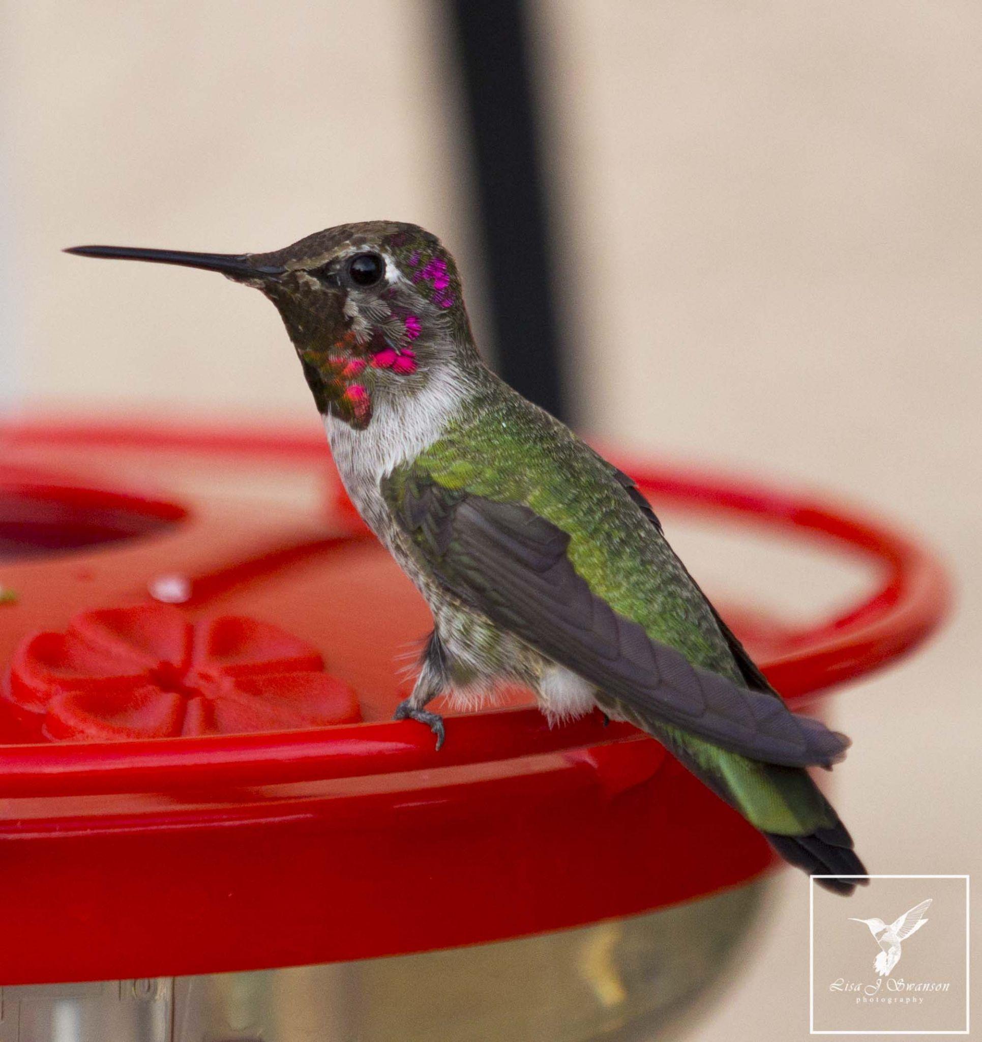 Male Anna's hummingbird by lisa.meyersswanson