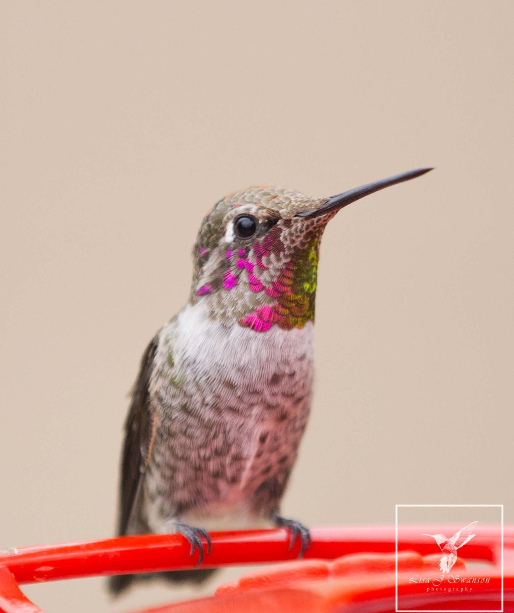 Anna's male hummingbird by lisa.meyersswanson