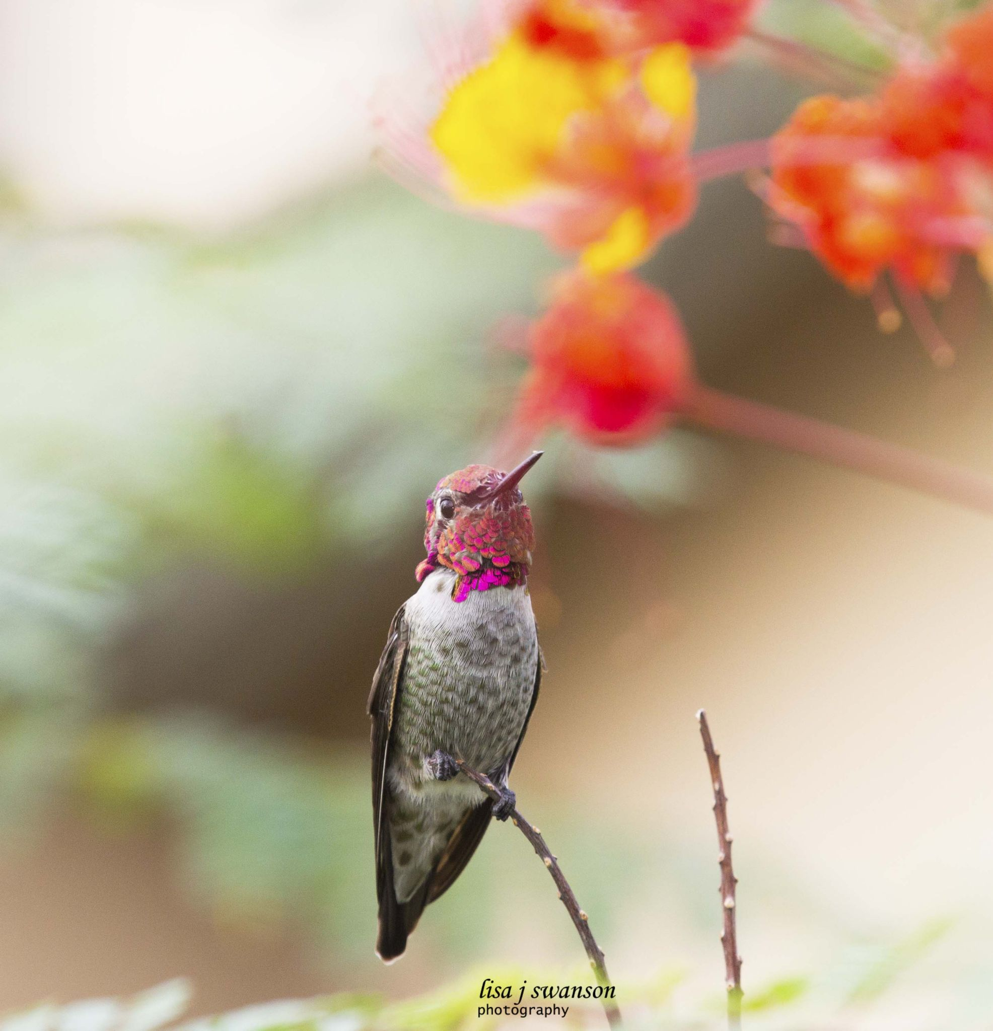 Beautiful Anna's hummingbird by lisa.meyersswanson