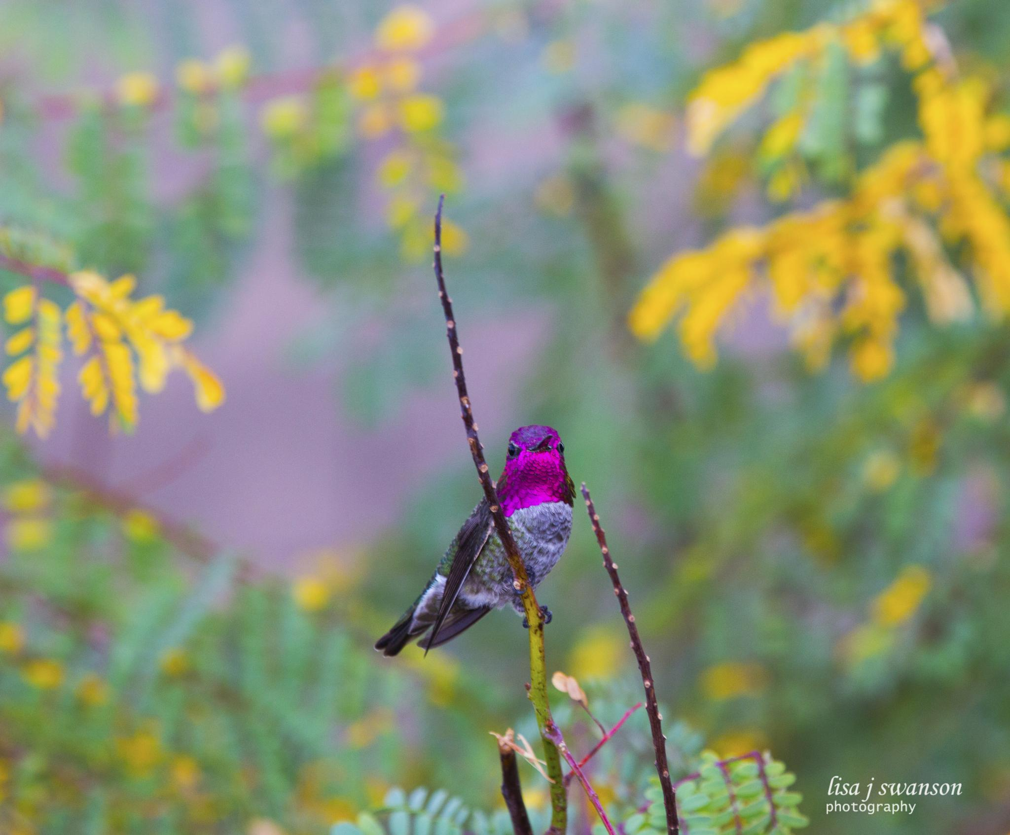 Male Anna's hummingbird with beautiful gorget by lisa.meyersswanson