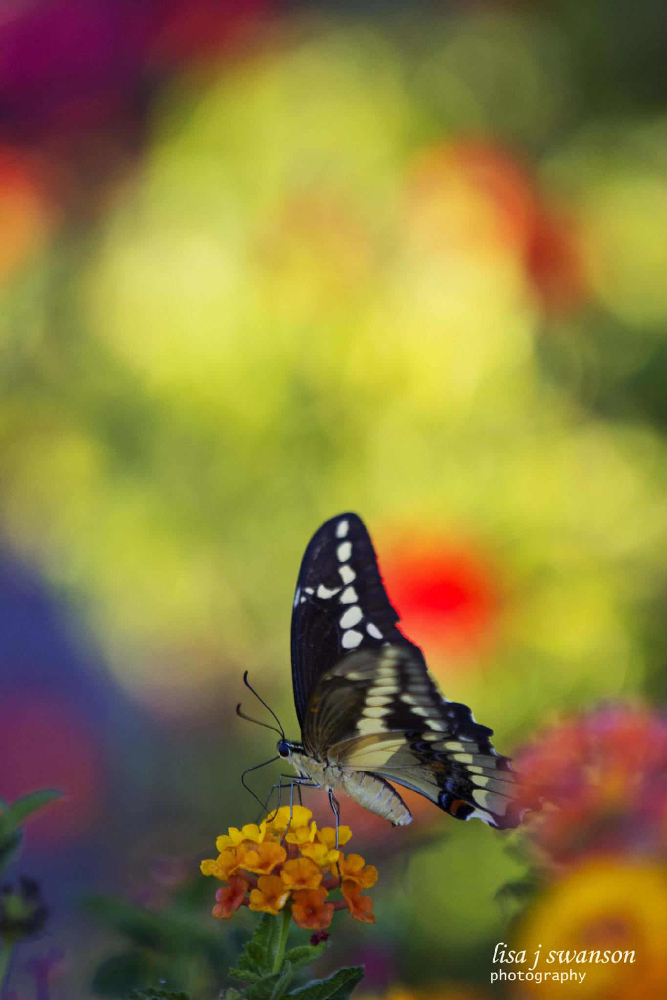 Butterfly on lantana by lisa.meyersswanson