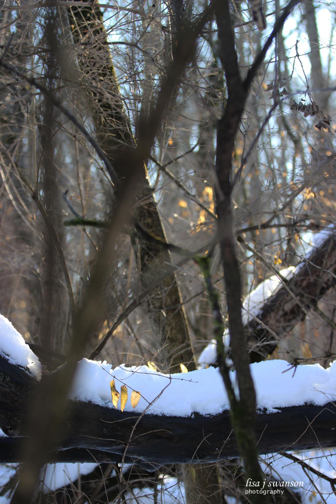 Snowcap on a branch by lisa.meyersswanson